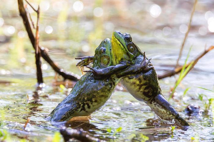 sumo-frogs
